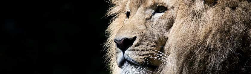 Investorensuche – erfahrener Löwe