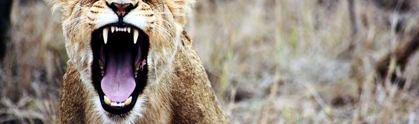 Investorensuche – Löwe brüllt