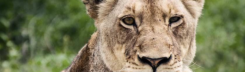 Investorensuche – Löwe kritischer Blick
