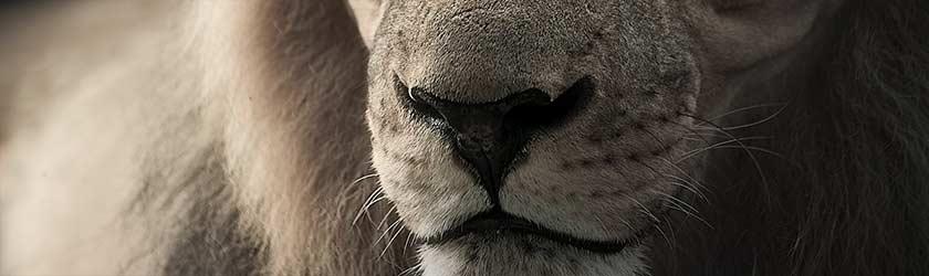 Löwe – der richtige Riecher bei der Investorensuche?