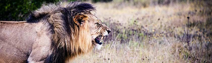 Investorensuche – Löwe auf der Jagd